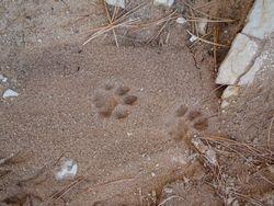 Mountain Lion tracks