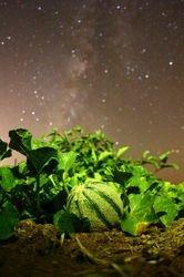 Milky Way Cantaloup