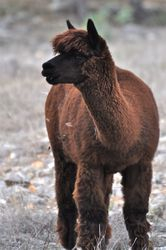 Alpaca Ranch in the Hill Country