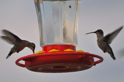 Hummers Love it here!