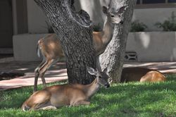 Deer in the front yard in New Braunfels