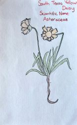 "FINALIST Chloe Wang, age 9, ""South Texas Yellow Daisy / Asteraceae"""