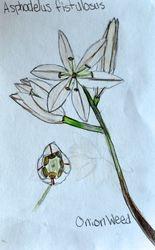 "FINALIST Mia Hanlon, age 11, ""Onion Weed / Asphodelus Fistulosus"""