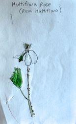 "FINALIST Derek Lu, age 12, ""Multiflora Rosa / Rosa Multiflora"""