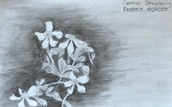 """FINALIST Julie Yue, age 14, """"Common Strawberry / Fragaria Virginiana"""""""