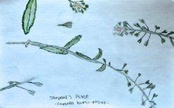 "FINALIST Payal Sampat, age 15, """"Shepard's Purse / Capsella Bursa-pastoris"""