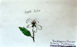 "FINALIST Isha Narang, age 9, ""Blackberry Flower / Rubus Frutieosus"""