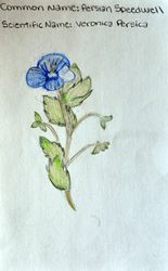 """FINALIST Claire Wang, age 11, """"Persian Speedwell / Veronica Persica"""""""