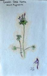 """FINALIST Helen Fang, age 12, """"Common Dead Nettle / Lamium Aplexicaule"""""""