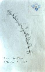 """FINALIST Emily Lu, age 12, """"Corn Speedwell / Veronica Arvensis"""""""