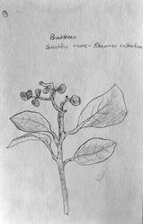 """FINALIST Bowen Zhong, age 9, """"""""Buckthorn / Rhamnus Cathartica"""""""