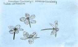 """FINALIST Catherine Wu, age 13, """"Armenian Blackberry / Rubus Armeniacus"""""""
