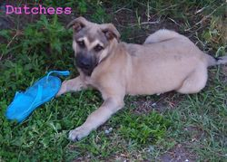 Future Service Dog - Dutchess