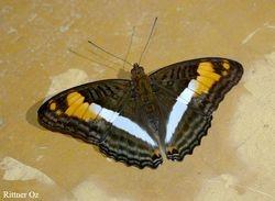 Adelpha malea goyama