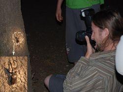 Lucanus cervus photographing