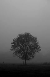 Pasture: Tree in Fog