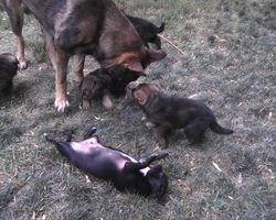 Beo playing with 5 wk old GSD puppies and Crackers.