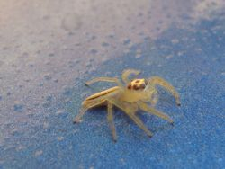 yellow spring Spider