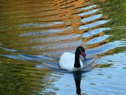 Trevarno Goose