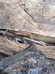 Snake in the log pile