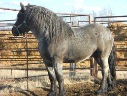Blue Roan Stallion 003.jpg