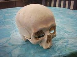 Real human skulls for sale