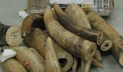 Elephant tusks for sale