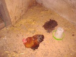 partridge pekin pair