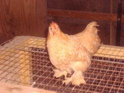 lemon cuckoo pekin rooster