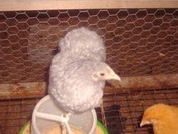 lavender cuckoo pekin pullet