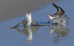 Bécasseaux sanderlings - Sanderlings