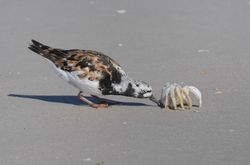 Tournepierre à collier - Ruddy turnstone