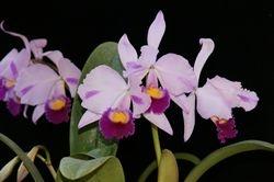 Catt. trianiae