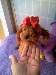 Red Poodle  Scarlett