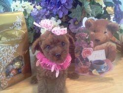 Red Ch AKC Teddybear Poodles toy