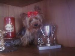 Yorkshire Terrier  * Daddy*