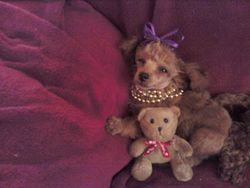 Teddy Bear and poodle look a like!!