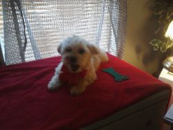 Maltipoo older boy almost six months and five pounds will be maybe six pounds