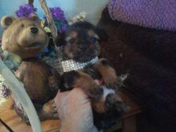 Yorkie Teddy Bear boy BOO BOO Bear