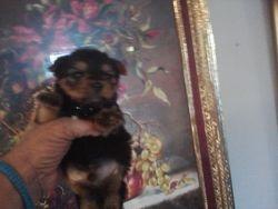 Yorkie Teddy Bear boy Yogi Bear