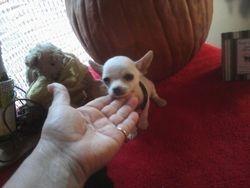 MicroTeacup Chihuahua white boy