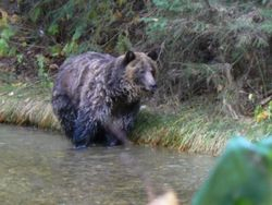 Meadow Creek Grizzly