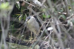 Black-crowned Night-heron, adult