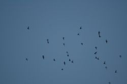Common Swifts-Italy