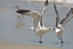 Herring Gull stealing a fish from a Laughing Gull