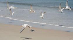 Royal Tern Takeoff