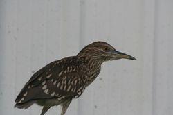 Juvenile Black-crowned Night-Heron