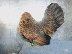 Quail Belgian D'Anver Hen