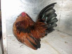Quail Belgian Cockerel