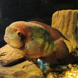 Chocolate Cichlid By Eric Price